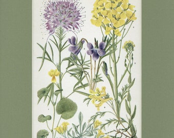 Botanical Flower Print of Violet, Caper, Mustard, Bleeding Heart by Edith Schwartz Clements, from Vintage 1926 Book