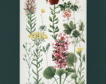 Botanical Flower Print of The Stonecrop and Saxifrage Family by Edith Schwartz Clements, from Vintage 1926 Book