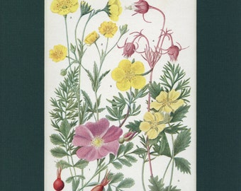 Botanical Flower Print of The Rose Family by Edith Schwartz Clements, from Vintage 1926 Book