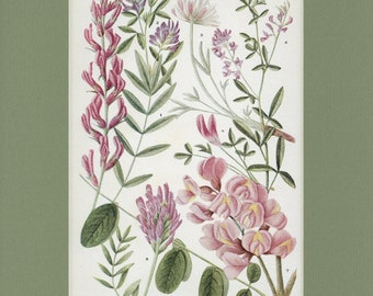 Botanical Flower Print of The Pea Family by Edith Schwartz Clements, from Vintage 1926 Book