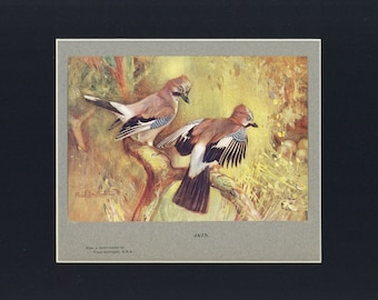 Jays Antique Illustrated Print from British The Book of the Open Air c1900, edited by Philip Edward Thomas