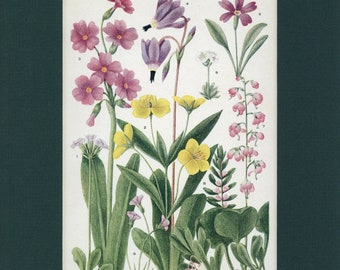 Botanical Flower Print of Primrose, Wintergreen, Heath by Edith Schwartz Clements, from Vintage 1926 Book