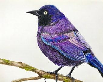 Grackle Colored Pencil Drawing - Black Bird Portrait Art - Original Fine Art Bird Illustration in Mat - Nature Art Bird Wall and Home Decor