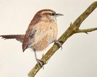 Carolina Wren Picture Colored Pencil Illustration - Bird Portrait Art - Original Bird Drawing in Mat - Nature Bird Wall Decor for Bird Lover
