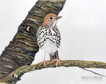 Wood Thrush Colored Pencil Illustration - Bird Portrait Art - Original Bird Drawing in Mat - Nature Bird Wall Decor - Gift for Bird Lover