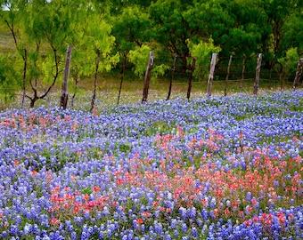 Texas Springtime Roadside Fence Bluebonnets Indian Paintbrush original photograph - Canvas Art Wild Flowers Landscape Photo