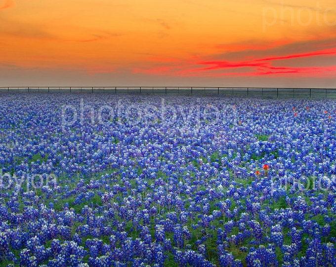 Bluebonnet Sunset Vista - 8.5 x 17 signed original photograph - Texas Wild Flowers Bluebonnets Landscape