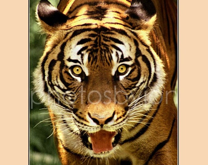 Nice Kitty 12 x 16 poster style photographic print - Tiger face