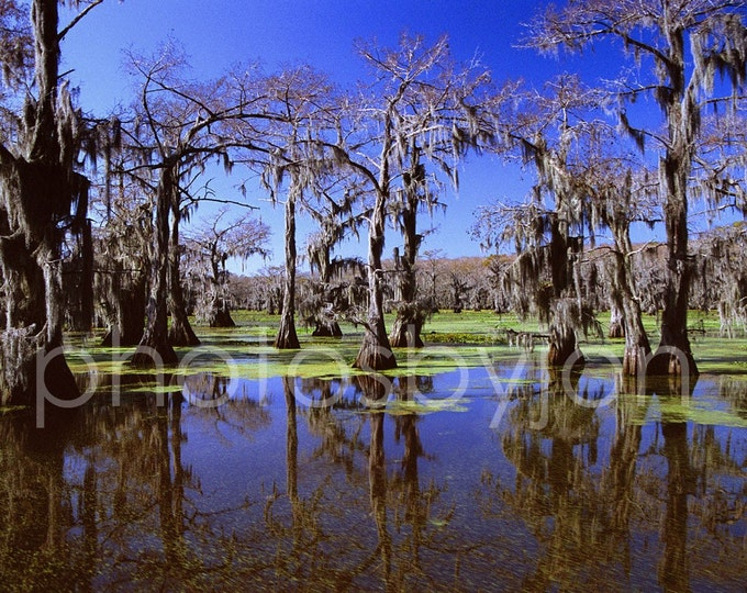 Fantasy Forest - 8x12 signed original photograph, Caddo Lake Cypress trees