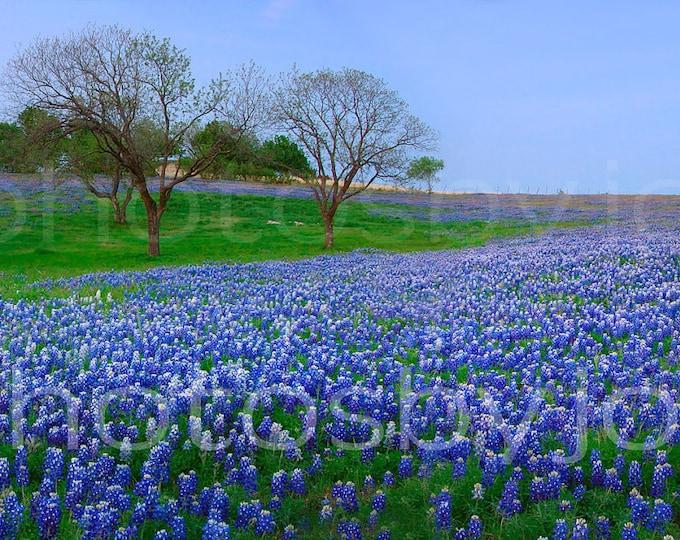 Bluebonnet Vista - 7 x 17 signed original photograph - Texas Wild Flowers Bluebonnets Landscape