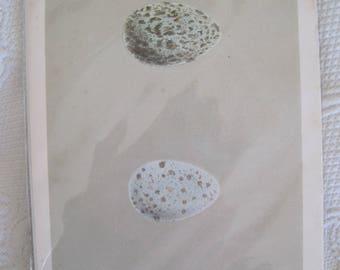 Handcolored Original Morris Egg Engraving Plate XLIII 1885
