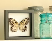 Framed Butterfly - Rice Paper butterfly