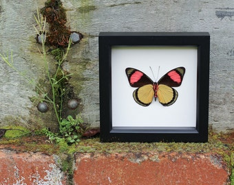 Real Framed Butterfly Painted Beauty insect