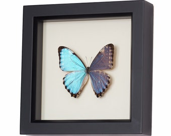 Real Framed Blue Morpho Butterfly Display