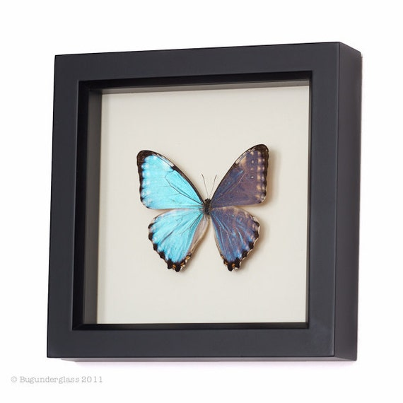 Real Framed Blue Morpho Butterfly Display | Etsy