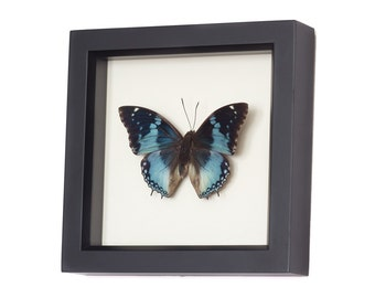 Blue Charax Real Framed Butterfly Shadowbox Display