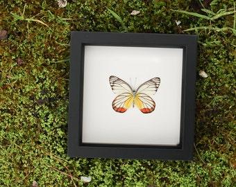 Framed Butterfly Display Painted Jezibel Delias hyparete