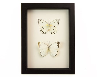 Real Butterfly Collection Polka Dot Insect Wall Art Belenois calypso