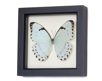 Framed Butterfly Display, Mint Morpho Insect Art