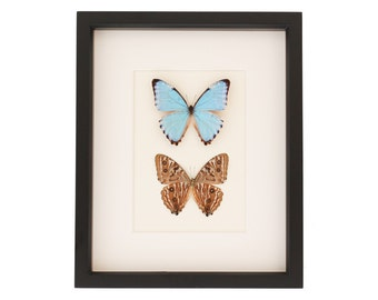 Real Blue Morpho Butterflies Art Front and Back