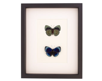 Framed Butterflies Charles Darwin Butterfly Displaying Both Sides