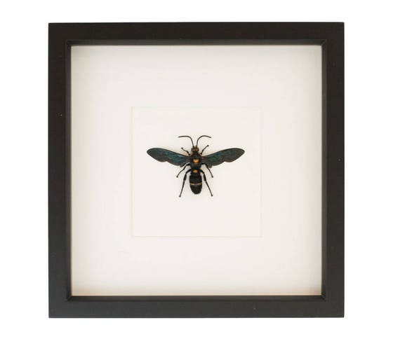 Real Framed Wasp Giant Scoliid Wasp Taxidermy | Etsy