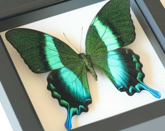 Papilio blumei Framed Butterfly Art Display