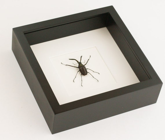 Real Framed Charles Darwin Beetle Chiasognathus granti | Etsy