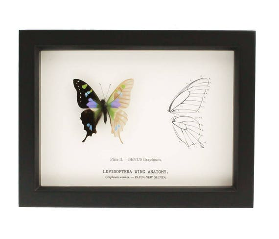 Real Framed Butterfly Curiosity Skeleton Anatomy | Etsy