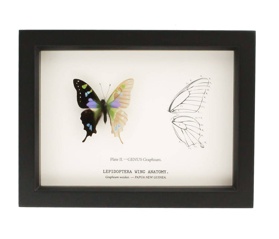 Real Framed Butterfly Curiosity Skeleton Anatomy | Etsy