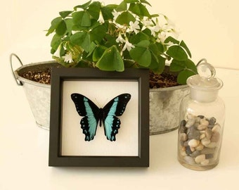 Broad Banded African Swallowtail Framed Butterfly Display