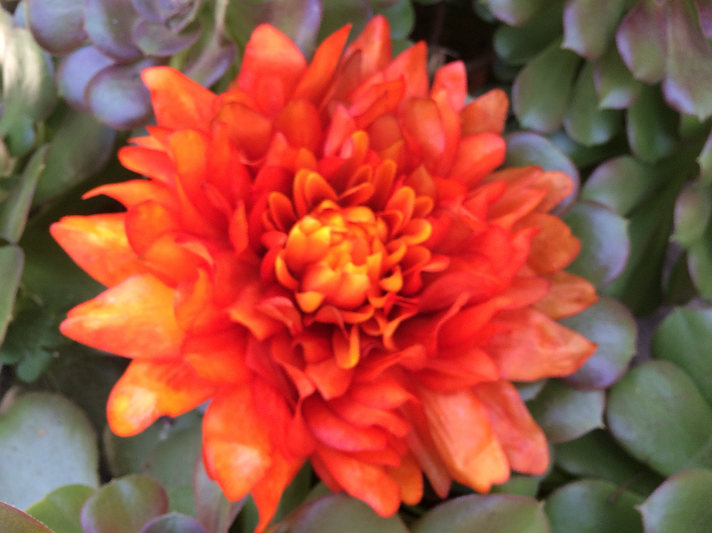 Extra Large Orange Dahlia Etsy