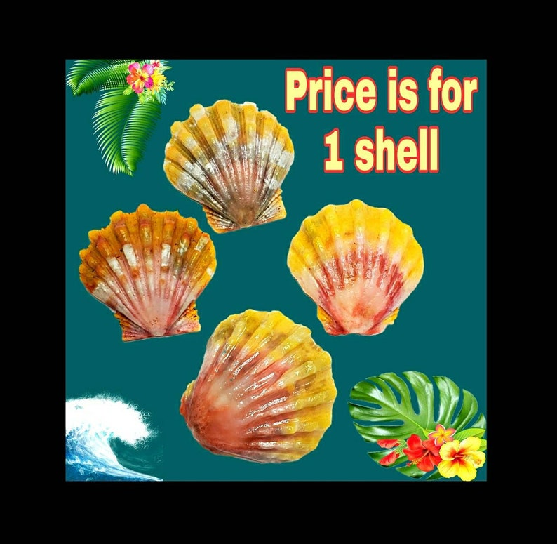 Hawaiian Sunrise Shell Moonrise shell bulk Hawaiian image 0