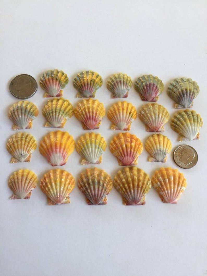Hawaiian Sunrise Shells Pecten Langfordi Hawaiian seashells image 0