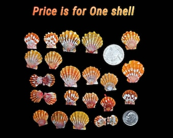 Hawaiian Orange Sunrise Shell, seashell jewelry, bulk Hawaii seashells, beach house decor, mermaid gift, surfer gift, Pecten Langfordi