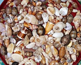 Hawaiian seashells, bangle bracelet, cone, cowrie, bulk seashells, jewelry supply, beach decor, mermaid gift, surfer choker