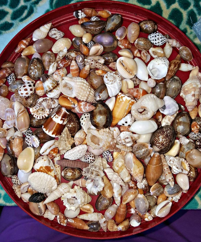 Hawaiian Seashell Bangle Supplies Cone Shells Cowrie image 0