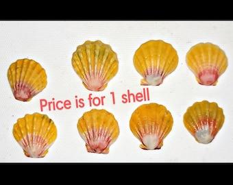 Hawaiian Sunrise Shell, Moonrise shell, bulk Hawaiian seashell, seashell decor, surfer gift, mermaid gift, Pecten Langfordi