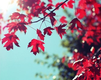 autumn fall red maple nature photography / ruby red, aquamarine, robins egg blue, botanical, christmas decor / red maple in the fall sun