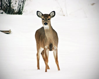 CLEARANCE - Young Deer - 8x10 Fine Art Photography
