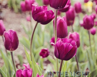 READY TO SHIP - Purple Tulips - Indiana Spring Fine Art Photography