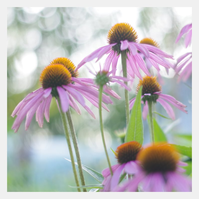 Beautiful Purple Cone Flowers Photo Instant Digital Download image 0