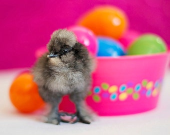 Easter Photography chick animal home decor eggs baby chicken nursery children kids colorful bright pink purple cute little black grey gray