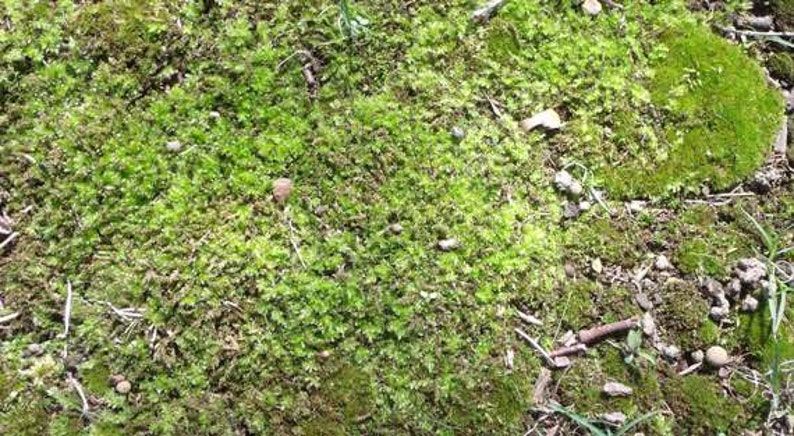 MOSS live plants For terrariums or crafts. Sale!! Sold As Is 12 x 8