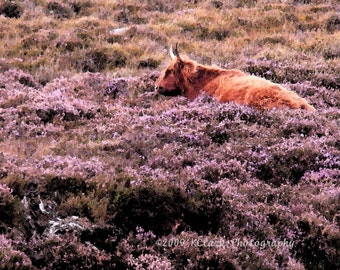Heeland Coo in Heather 8x10 photo scotland cattle cow picturesque highlands outlander purple lavender travel farm country