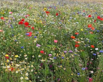 Dryland Wildflower Seeds 1 oz., 4 oz., 8 oz. wildflower seeds, drought tolerant wildflowers, bulk wildflower seeds, wildflower packets,