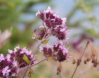 Marjoram Herb Seeds, Marjoram Seeds, Organic Marjoram Seeds, Herb Seeds, Organic Herb Seeds, Herb Garden Seeds