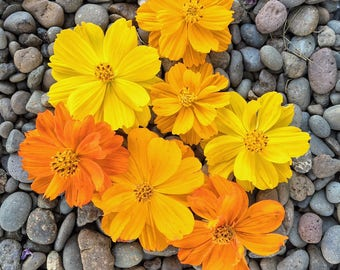 Bright Lights Cosmos Seeds, Cosmos Seeds, Flower Seeds, Cosmos Flower Seeds, Butterfly Garden Seeds, Water Wise Landscaping