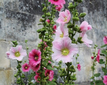 Hollyhock Seeds 'Indian Spring', Flower Seeds