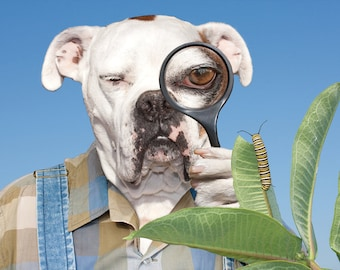 Peekaboo, funny large original photograph of white boxer dog wearing vintage shirt looking at monarch butterfly caterpillar on milkweed